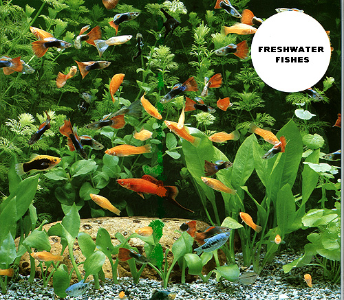The Freshwater Ornamental Fishes