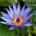 water-lily-537233_960_720