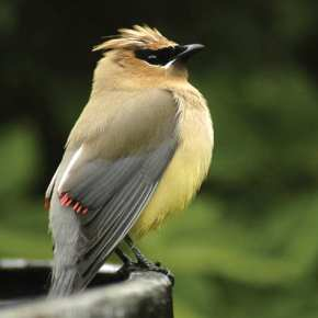 Cedar Waxwing on Libby Creek. Photo by Sue Misao