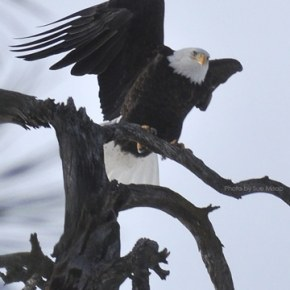 Eagle above Methow River in Carlton. Photo by Sue Misao