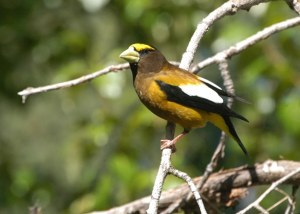 Evening Grosbeak on Libby Creek. Photo by Sue Misao