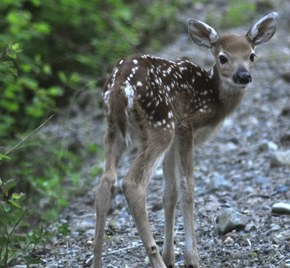 Baby deer on Libby Creek. Photo by Sue Misao
