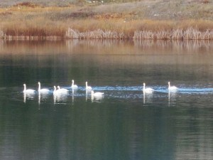 Migrating trumpeter swans took a break from flight last weekend at Big Twin Lake. Photo by Don Nelson