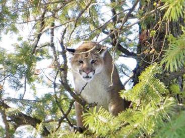 Cougar-p