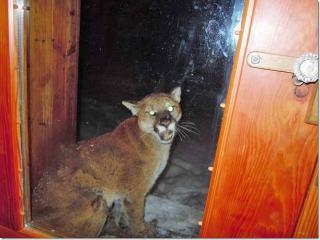w_mazama-cougar