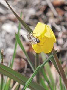 This lucky male bee indulged in nectar from a yellow bell, one of the earliest flowers to bloom in the valley. Yellow bells (Fritillaria pudica) are in the lily family and can grow in dry, nearly bare soils. Male bees tend to hover around nectar or pollen sources but don't actually gather pollen—they just drink a bit of nectar now and then while flying around searching for females. Thanks to George Wooten and Steve Dupey for sharing their encyclopedic knowledge of flowers and insects. Photo by Marcy Stamper