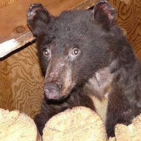 Burned bear cub making good progress