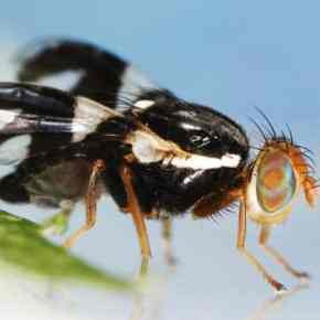 Officials wary due to apple maggot fly captures