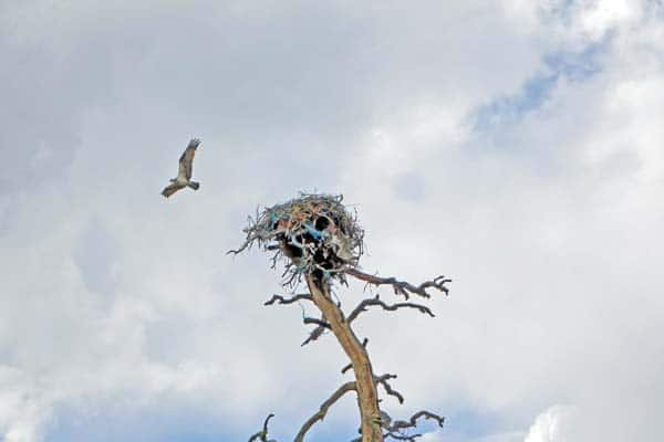Photo courtesy of Pat Leigh A dead osprey, tangled in baling twine, hangs below a nest decorated with the colorful plastic twine near Twin Lakes Road.