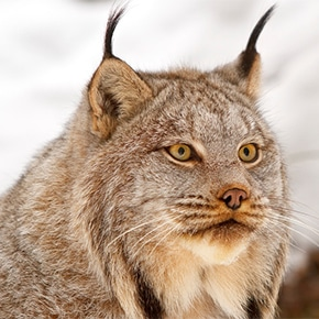 Lawsuit seeks more protection for lynx habitat