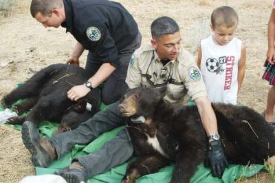 Photo by Ann McCreary WDFW wildlife biologist Ben Maletzke, left, works on Kaulana while Rich Beausoleil, WDFW bear and cougar specialist, holds Cinder. The bears were immobilized to be examined and collared before their release.