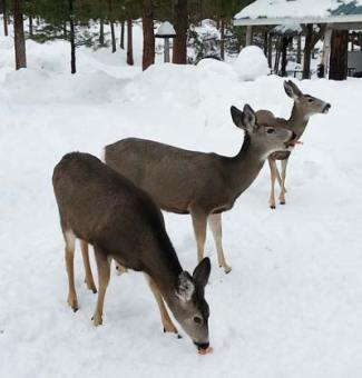 Photo by Darla HusseyWDFW says citizens should not feed the deer.