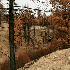 Burned 'hazard' trees removed from Loup Highway