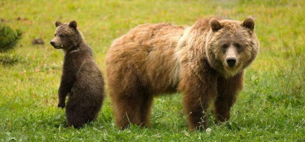 Photo courtesy of Joe Scott, Conservation NorthwestGrizzly bears.