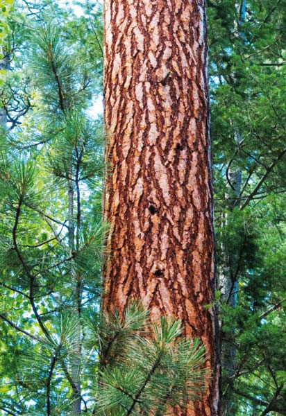 Photo courtesy of Winthrop GalleryThis photo of a Ponderosa pine by Teri Pieper is one that will be on display.