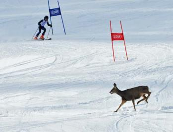 Photo courtesy of Geoff Richardson Avery Catlin of the Loup Loup Alpine Ski team had an unexpected encounter with a non-competitor at last weekend's Wolf Chase Race at the Loup.
