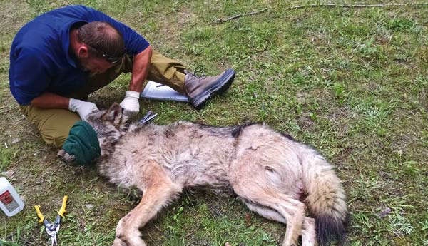 Photo courtesy of Washington Department of Fish and Wildlife Trent Roussin, WDFW wolf biologist, fits a GPS collar on a Loup Loup pack gray wolf that was captured on May 19.  The adult male wolf was given an immobilizing drug so that Roussin could collect biological information and attach the radio collar.