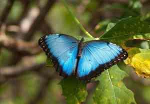 fairchild-Blue Morpho Butterfly