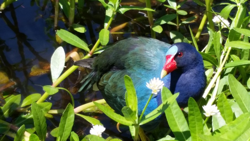 Purple Gallinule at Loakfoma Lake, Noxubee National Wildlife Refuge