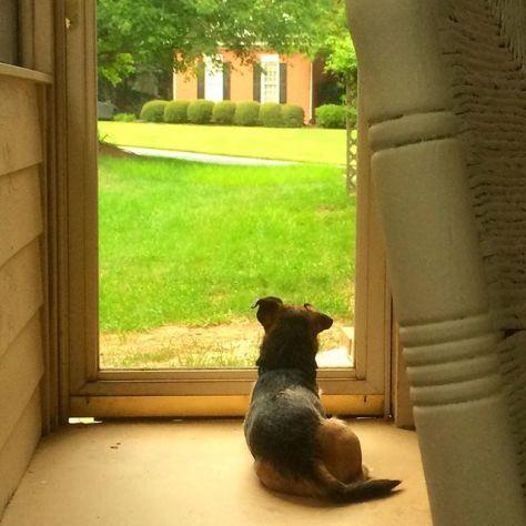 #watchdog #dogsofinstagram #patterdale