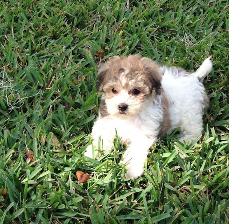 maltipoo pups for sale ocala florida michelines pups10