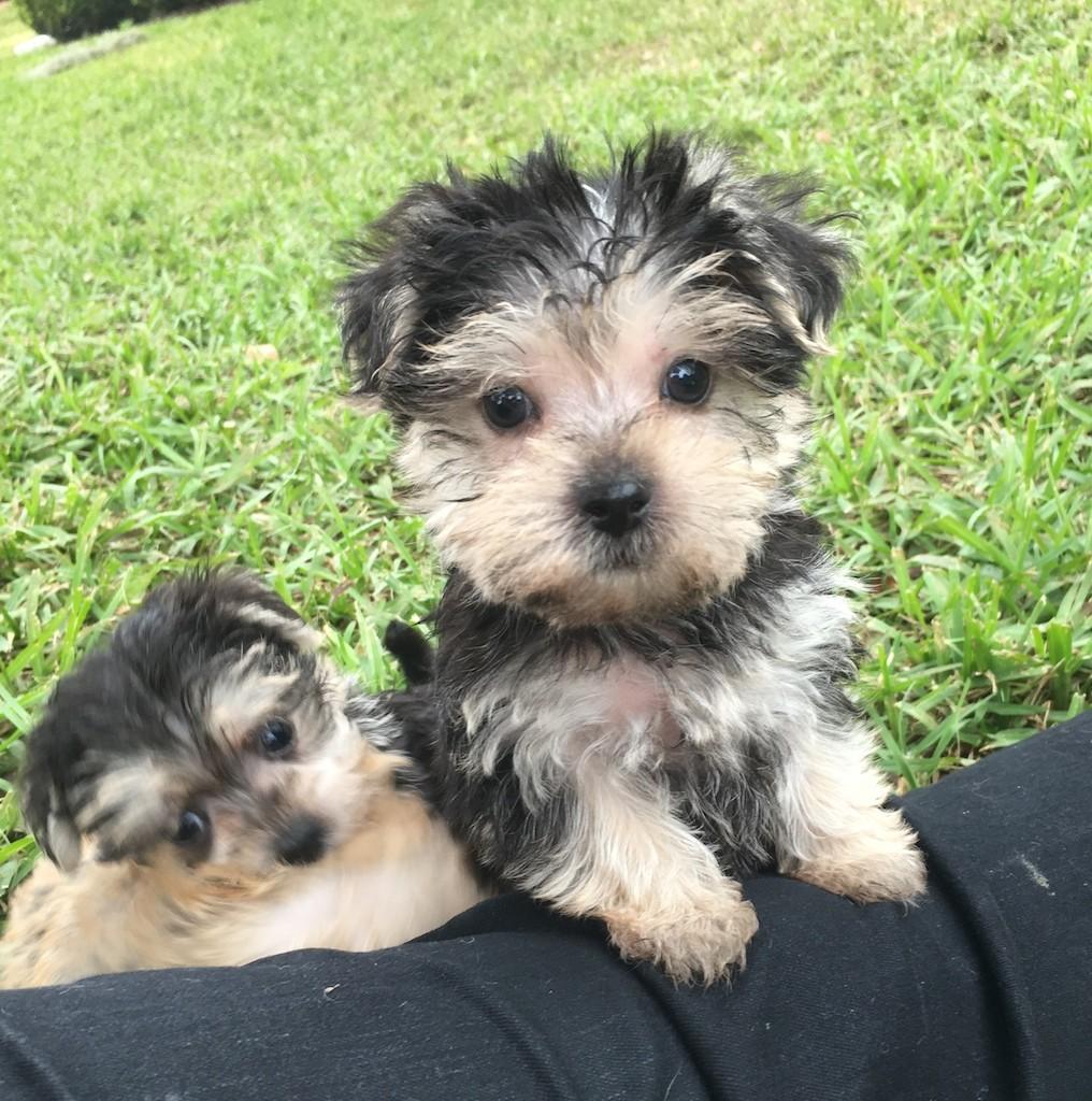 beautiful silver and black morkie or maltese yorkie mix for sale in florida