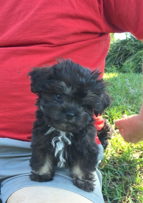 adorable tny toy shih poo pups for sale in ocala florida
