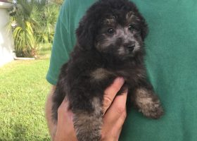 yorkie-poo-pups-for-sale-ocala-florida-michelines-pups