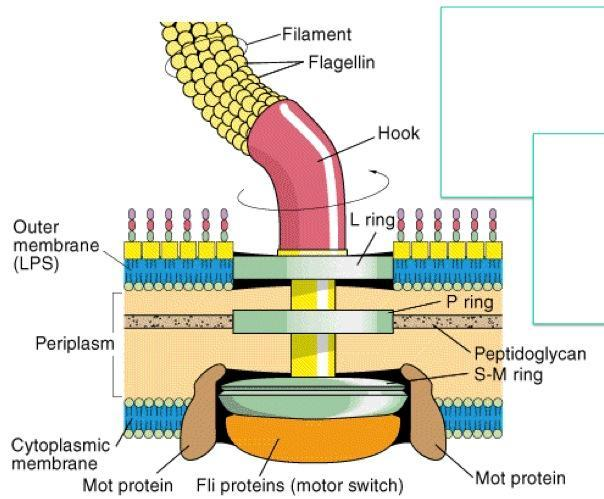 Bacterial Flagella  Structure  Importance And Examples Of