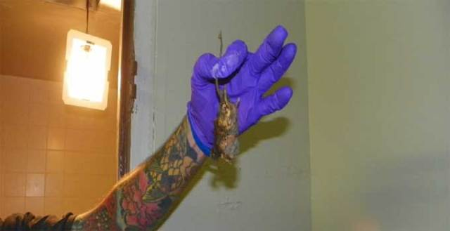 A dead rat found in a Kansas City motel, photo courtesy the Kansas City Health Department.