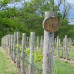 Tempranillo vines that were planted in 2008 grow at Walker's Bluff Winery near Carbondale, Illinois.