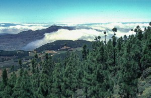 Cloud below pine forest, Canary Islands.