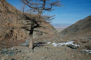 A lone larch tree on a ridge in the Gobi Altai mountains, Mongolia.