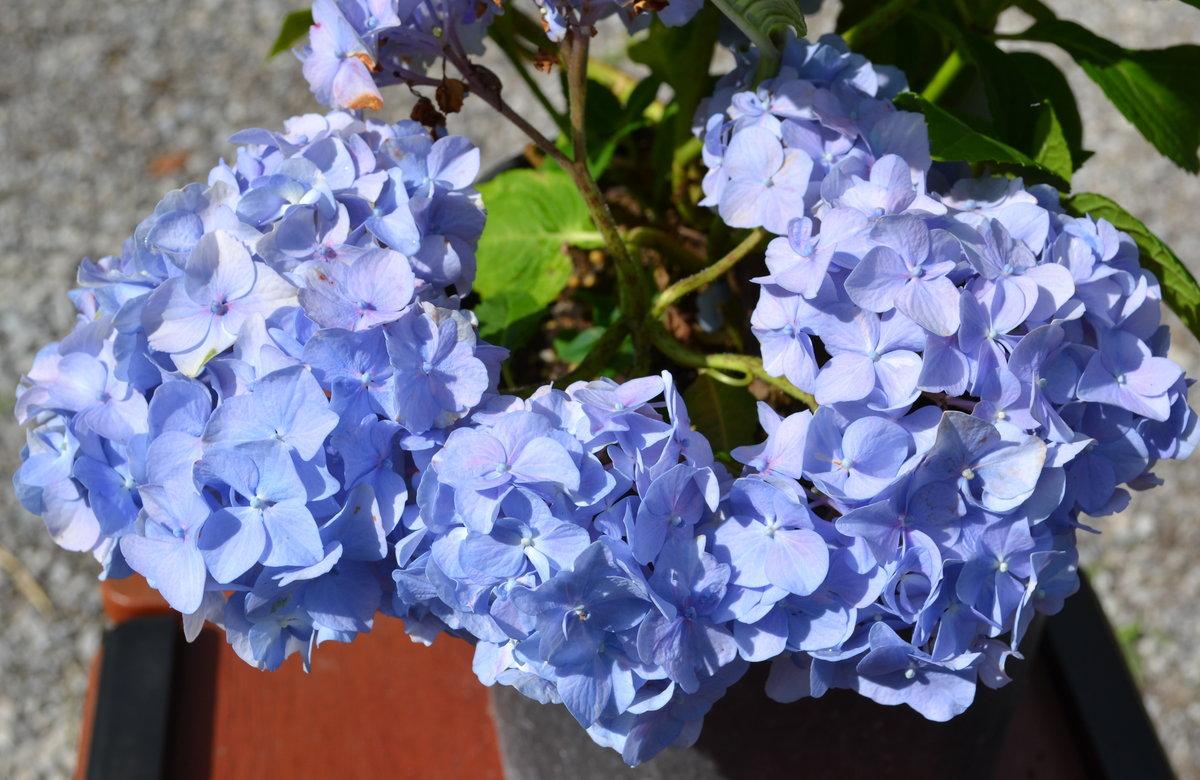 Mind Blue Nikko Blue Propagating Making M Nikko Blue Hydrangea Planting Nikko Blue Hydrangea Deer Resistant Nikko Blue Hydrangea houzz 01 Nikko Blue Hydrangea