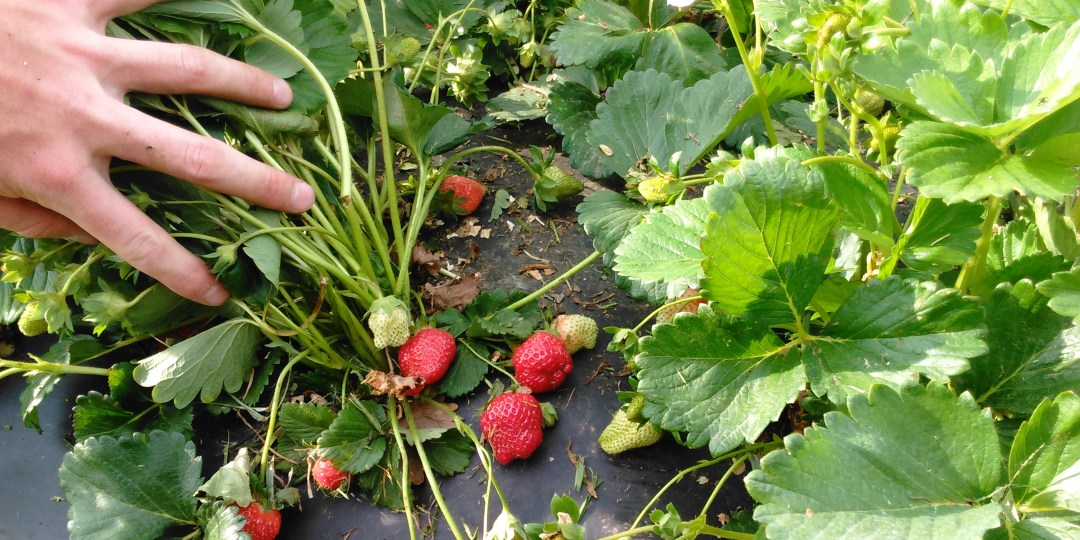 Strawberry Patch:  Open!