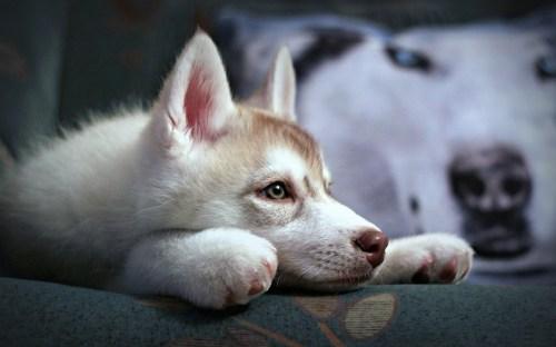 Medium Of Cute Husky Puppy