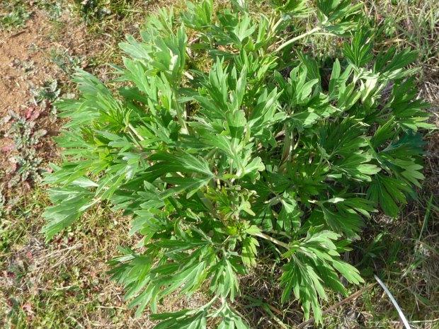 Wild Peony Plant