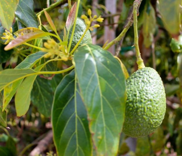 avocado-with-buds