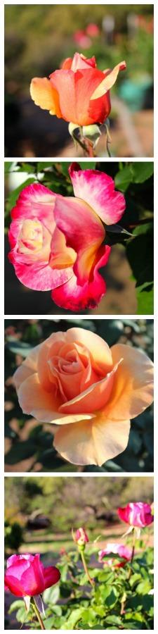 roses-vertical