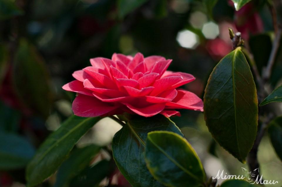 pinkcamellia