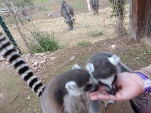 Foto de Lemures