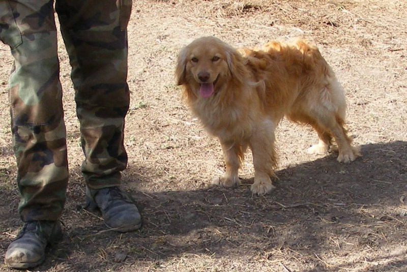 Large Of Golden Cocker Retriever Full Grown