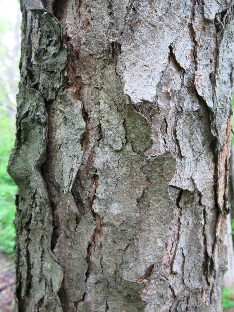 Large Of Cherry Tree Bark
