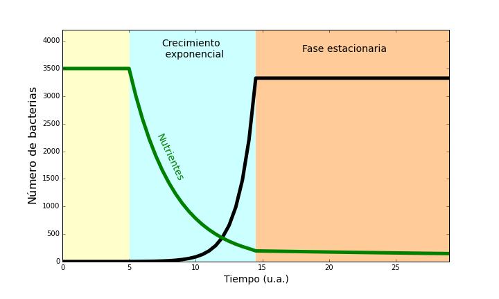 Tras una fase de adaptación las bacterias se dividen constantemente (fase exponencial). Cuando los nutrientes empiezan a agotarse entran en fase estacionaria, en la cual consumen menos recursos. / R. Martínez