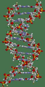 La teràpia gènica consisteix a introduir gens en el genoma del pacient. / Brian0918