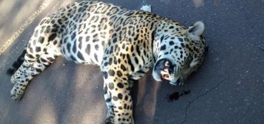 Misiones: Un yaguareté fue atropellado en la Ruta Provincial 19