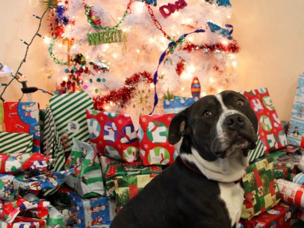 Ginale Harris's pitbull, Tyson, watches the gift pile at Bernal Dwellings.