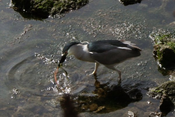 A night heron catches a snack along the bank.
