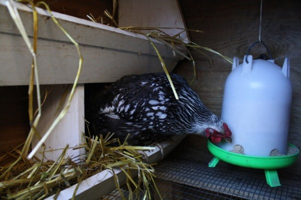 One of Kooy's birds takes a break from laying to go for a quick peck of food.