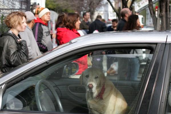 Lola, a yellow labrador, waits inside a car.